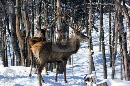 Elk stock photo, Wild elks in winter by Alain Turgeon