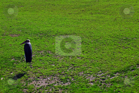 Marabou stock photo, Picture of a Marabou bird walking on a lawn by Alain Turgeon