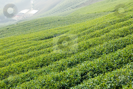 Tea farm stock photo, Tea farm in Taiwan, East Asia by Lawren
