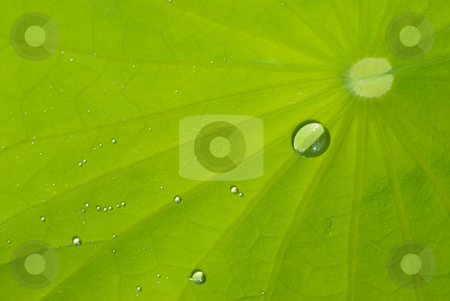 Leaf of waterlily with dew stock photo, It is a leaf of waterlily with dew in the morning by Lawren