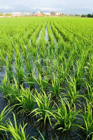Green field stock photo, Green field, Asia paddy field by Lawren