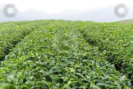 Tea farm stock photo, Tea farm in Taiwan, East Asia by Lawren