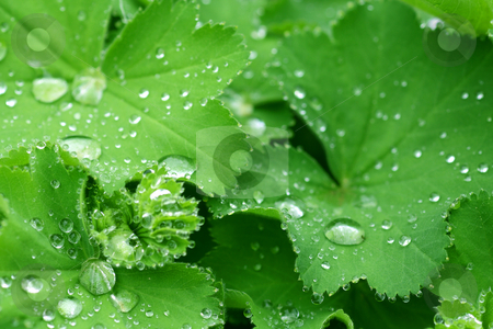 Ladys mantle  stock photo, Water drops on the leafs of a Lady's mantle by Birgit Reitz-Hofmann