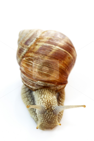 Snail stock photo, Snail with shell on bright background by Birgit Reitz-Hofmann