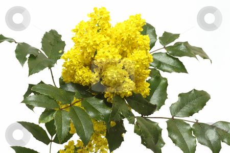 English Holly stock photo, English Holly (Ilex aquifolium) Branches with clusters of bright yellow berries on bright background by Birgit Reitz-Hofmann