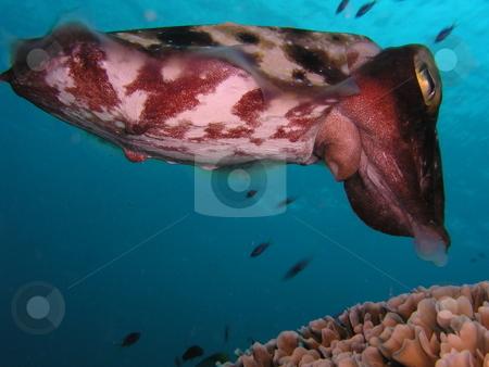 Cuttlefish Laying Eggs stock photo,  by Ryan Dandy