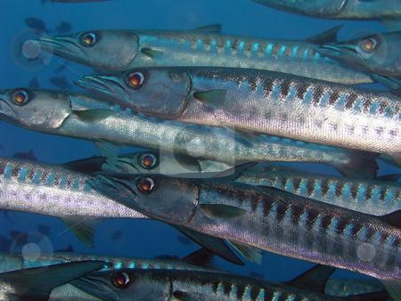 Barracuda stock photo,  by Ryan Dandy