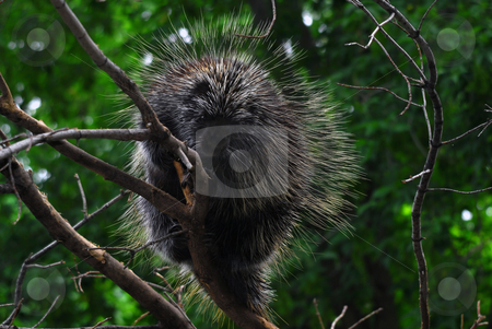 Porcupine stock photo, Close-up portrait of a big porcupine in a tree by Alain Turgeon