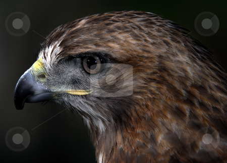 Red-tailed hawk stock photo, Close up portrait of a wild red tailed hawk by Alain Turgeon