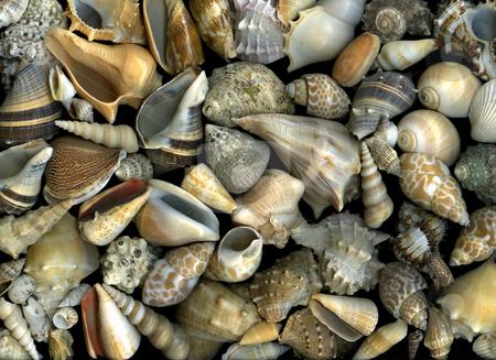 Seashells stock photo, Arrangement of many different seashells by Christian Slanec