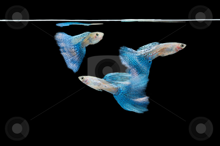 Swimming blue guppy, tropical fish pet stock photo, Swimming blue guppy, tropical fish pet by Lawren