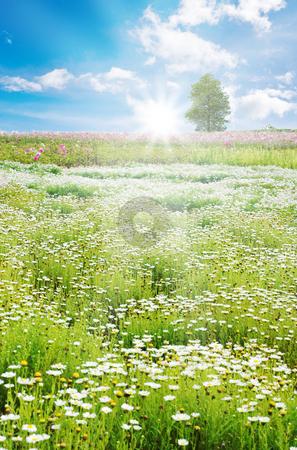 Sunrise in Spring field, daisy flowers stock photo, Spring field with daisy and colorful flowers by Lawren