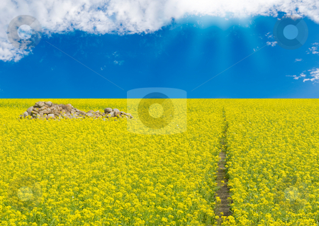 Sunny field stock photo, Yellow flowers blossom in sunny field by Lawren