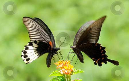Swallowtail Butterfly share flowers stock photo, Two Swallowtail Butterflies share one flowers by Lawren