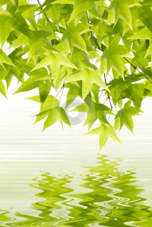 Green leaves reflection stock photo, Newborn green Leaves with Water reflection by Lawren