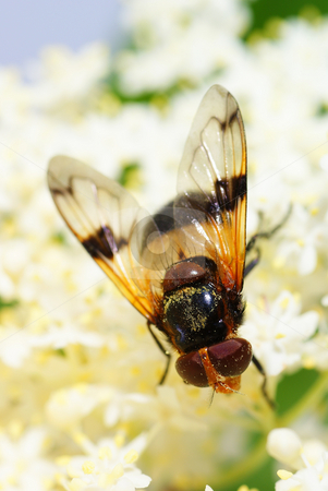 Fly stock photo, Fly on white flower lilac on  background by Jolanta Dabrowska