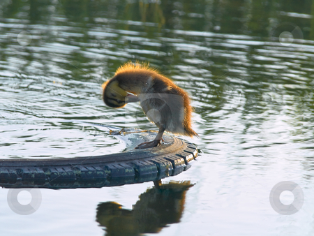 Duckling stock photo, Small duckling clearning standing on the car tyre by Sergej Razvodovskij
