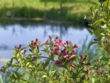 Red flowers stock photo, Red flowers against the small blue pond by Sergej Razvodovskij