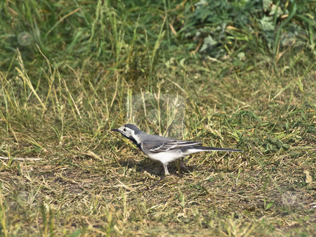 Wagtail stock photo, Single wagtail standing at the green grass by Sergej Razvodovskij