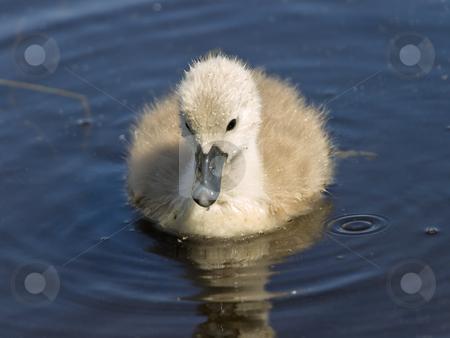 Baby swan stock photo, Little baby swan on the blue water by Sergej Razvodovskij
