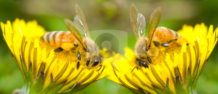 Two Bees and dandelion flower stock photo, Two Bees eat delicious dandelion flower, series of dandelion. by Lawren