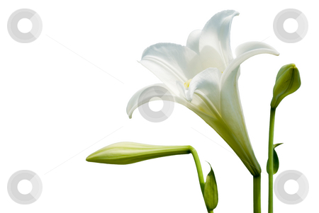 White lily stock photo, Isolated wild white lily with white background by Lawren