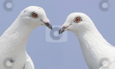 Couple of white doves stock photo, Couple of white doves look at each other by Lawren