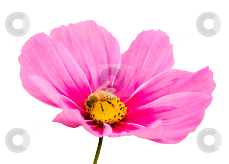 Pink daisy and bee, with clipping path stock photo, Pink daisy and hard working bee, with clipping path by Lawren