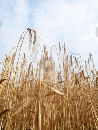 Golden wheat field stock photo, Golden wheat field under cloudy sky by Laurent Dambies