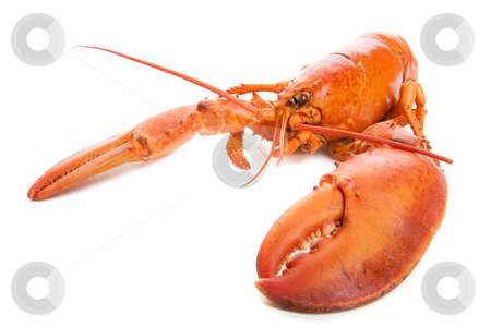 Lobster stock photo, Large cooked lobster on a white background by Steve Mcsweeny