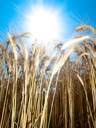 Beautiful golden wheat field stock photo, Golden wheat field in summer  against the sun by Laurent Dambies
