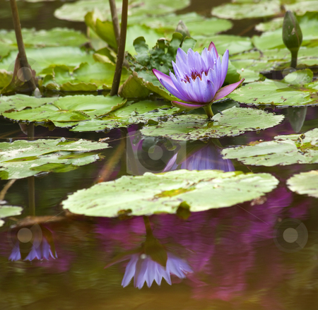 Blue Water Lily with Purple Blue Reflection stock photo, Blue Water Lily Flowers and Pads by William Perry