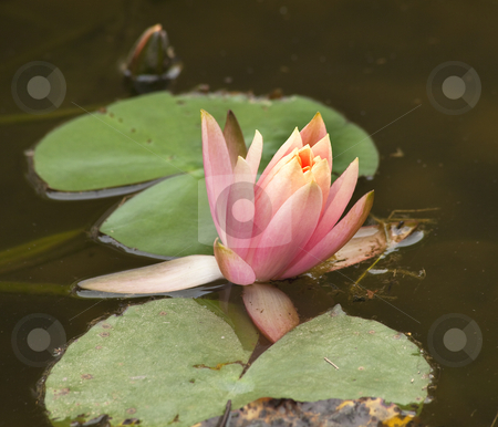 Pink Water Lily with Dragon Fly stock photo, Pink Water Lily Flowers and Pads with Dragon Fly by William Perry