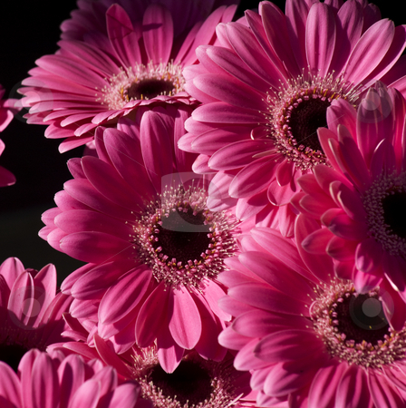 Bright Pink Gerbera Flowers stock photo, Bright Pink Gerbera Flowers by William Perry