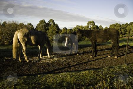 Three hroses stock photo, Three horses on a farm, eating straw by Arek Rainczuk