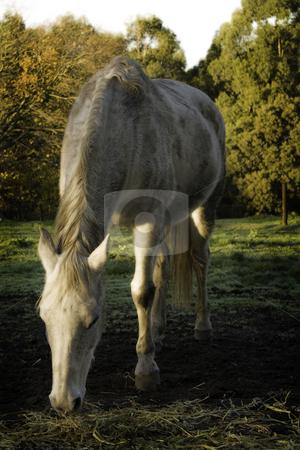 White horse stock photo, Beautiful white horse eating straw in a rural , dreamy surroundings by Arek Rainczuk