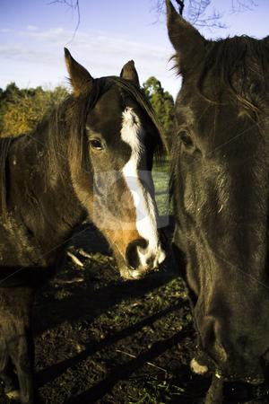 Portrait of two horses stock photo, Portrait of tho, curius horses, taken on a a farm by Arek Rainczuk