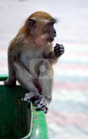 Macaque monkey on garbage bin stock photo, Macaque monkey on rubbish bin at batu caves by Robert Ford