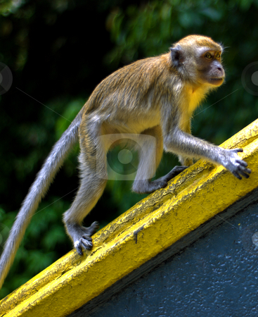 Macaque monkey stock photo, Macaque monkey at batu caves by Robert Ford