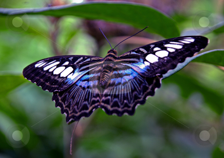 Blue Clipper Butterfly stock photo, Popular Malaysian buttefly the blue clipper feeding on foliage by Robert Ford