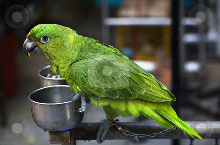 Green Parrot Eating Seed Hong Kong Bird Market stock photo, Green Parrot Eating Seed Hong Kong Bird Market by William Perry