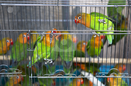 Green Yellow Parrots Hong Kong Bird Market stock photo, Green Yellow Parrots Hong Kong Bird Market Black and White Eyes Looking at You by William Perry