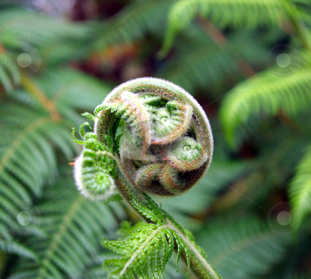 Fern Fiddlehead stock photo, Close-up view of an  Australian tree fern frond as starts to unravel by Lynn Bendickson