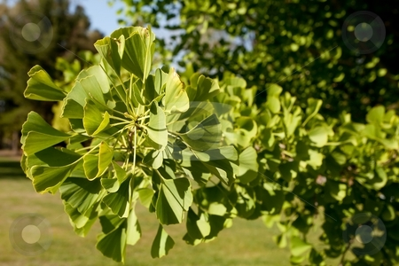 Ginkgo biloba stock photo, Ginkgo , also known as the Maidenhair Tree after Adiantum, is a unique species of tree with no close living relatives by Mariusz Jurgielewicz
