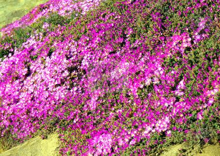 Purple trailing flowers on hillside stock photo, Colorful and bright purple trailing flowers along a hillside by Jill Reid