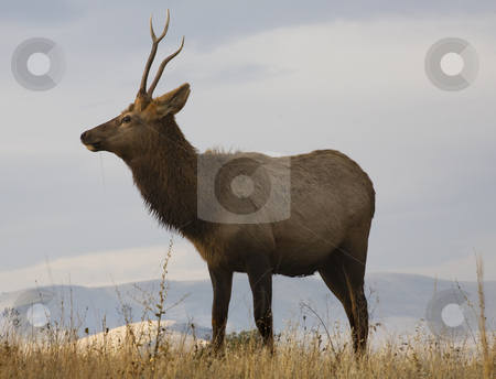 Young Male Elk With Grass National Bison Range Charlo Montana stock photo, Young Male Elk with Horns Eating Grass National Bison Range Charlo Montana by William Perry