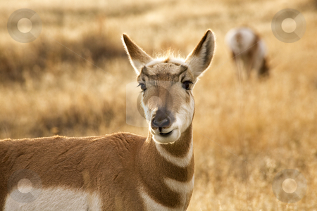 Pronghorn Antelope Grazing and Looking National Bison Range Char stock photo, Pronghorn Antelope Grazing and Looking Eating Grass National Bison Range Charlo Montana Antilocapridae by William Perry