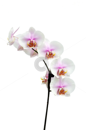 Flowers of a Phalaenopsis orchid hybrid vertical stock photo, Many pink and white flowers of a  Phalaenopsis orchid hybrid isolated against a white background vertical by Stephen Goodwin