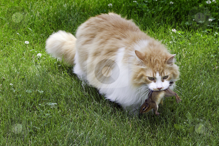 Orange and white cat with chipmunk stock photo, Large orange and white domestic longhair cat (Felis catus) catches a chipmunk (Tamias striatus) by Stephen Goodwin