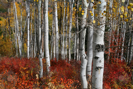 Sall Splender 78 stock photo, Fall shot of trees in the autumn showing  bright fall colors by Mark Smith